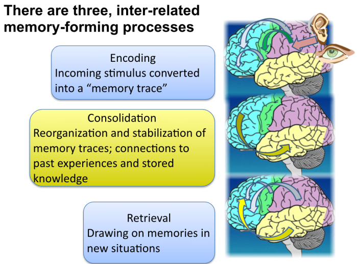 The three inter-related memory forming processes - encoding, consolidation, retrieval